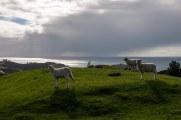Les moutons de Waiheke