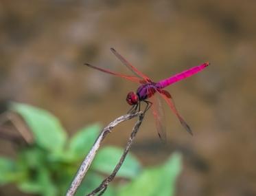 Enfin une libellule prend la pose.