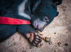 Bouba bébé oursonne recueillie