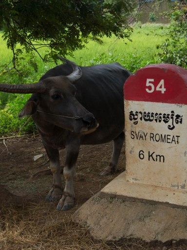 Ailleurs les vaches regardent passer les trains, ici les buffles regardent passer les vélos...