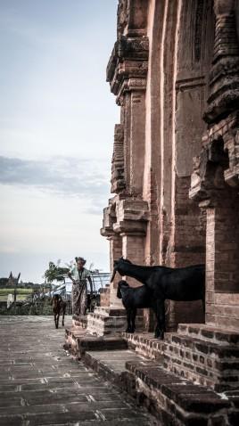 Gardienne de chèvres dans les temples