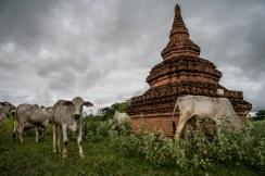 Troupeau de zébus, Bagan